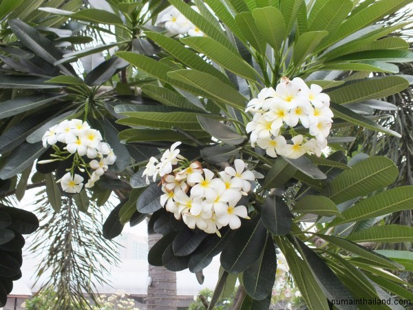 Орхидеи растут всегда гроздьями