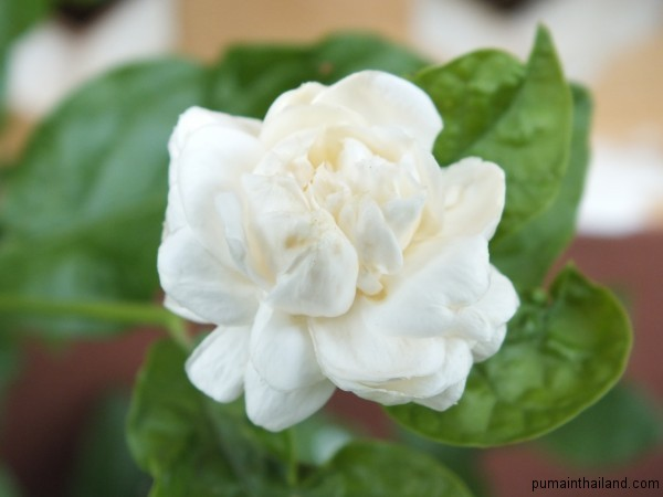 Просто красивый белый цветок