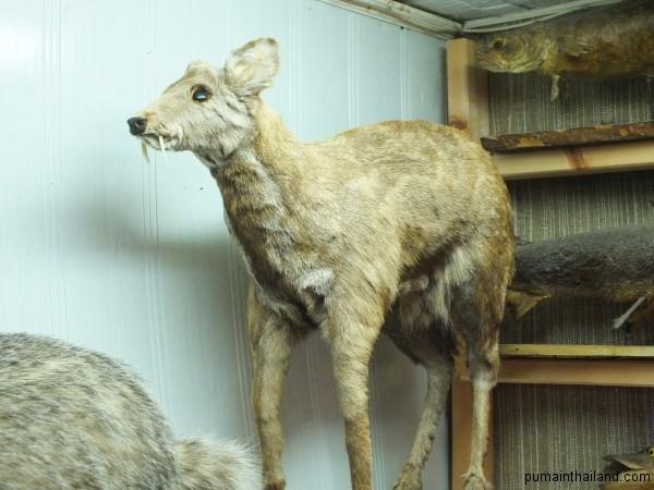 Кабарга, саблезубый олень Алтая