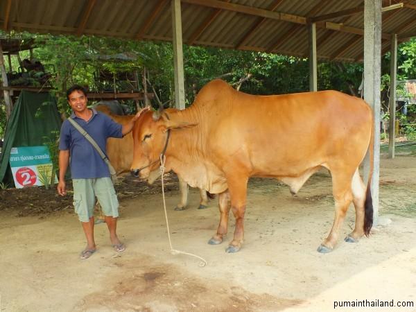 Величественные тайские  коровы