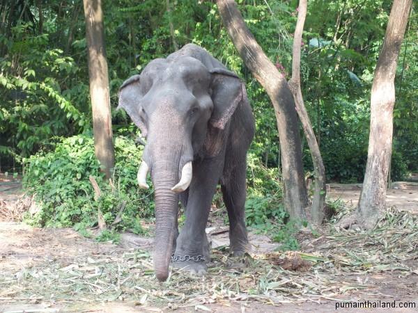 Это единственный слон с бивнями, которого я видел в Тайланде