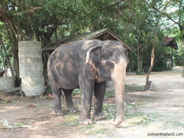 Интересно что это за белые пятна встречаются у слонов