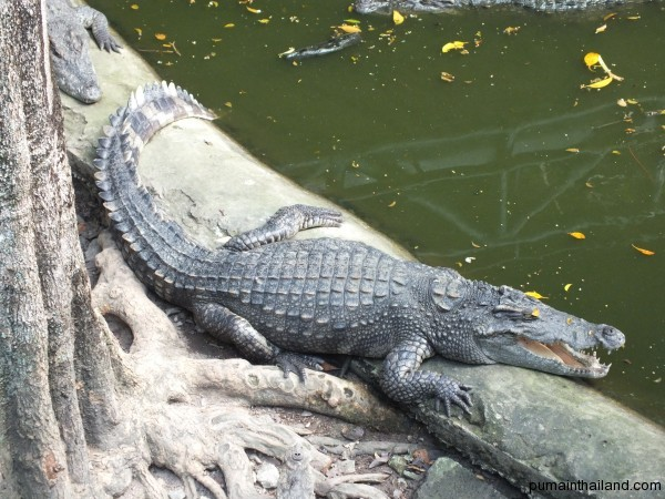 Очень красивый крокодил