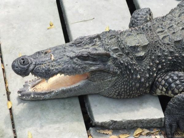 Крокодилы любят лежать с открытой пастью