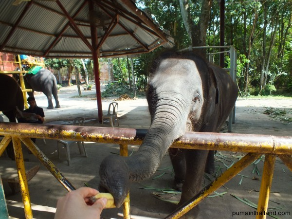 Пума кормит слоненка