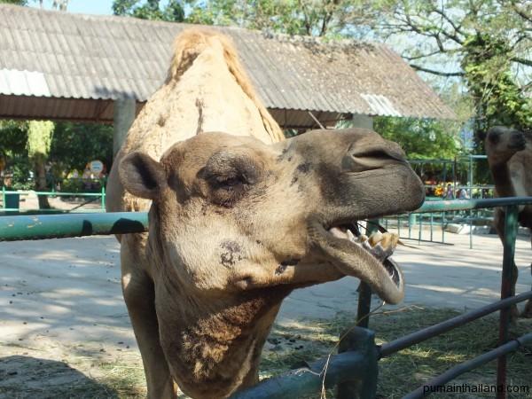 Такой стереотипный верблюд