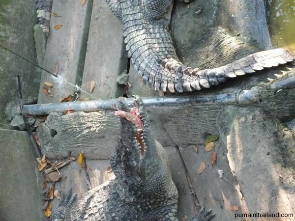 В зоопарке можно покормить крокодилов за 50 бат