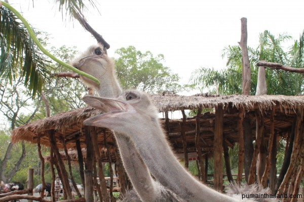 Пума кормит страуса в Кхао-Кхео